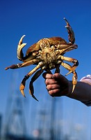 Fisherman holding legs of a live dungeness crab, Nanaimo, British Columbia, Canada