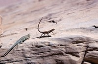 Green Lizards On A Brown Desert Rock