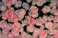 Close_up of an array of pink roses