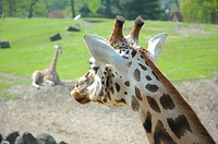 Close_up of a giraffe