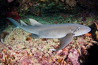Indonesia, Tawny nurse shark nebrius ferrugineus near ocean floor.