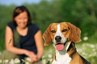 Beagle dog and woman