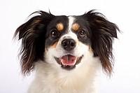 half breed dog _ portrait _ cut out