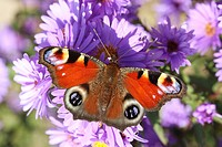 European Peacock butterfly on lilac blossom / Inachis io