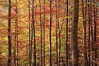 Beech forest, Sierra Cebollera Natural Park. La Rioja, Spain