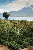 Coffee Finca near San Lucas Toliman Lake Atitlan Guatemala