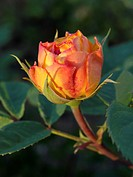 Rose Rosa Yellow Charles Austin