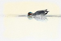 Common Teal, Anas crecca