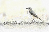 Northern Wheatear, Oenanthe oenanthe
