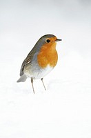 European Robin, Erithacus rubecula, searching for food in garden, in winter, Germany