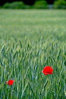 Corn poppies in field