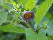 Deadly nightshade Atropa acuminata