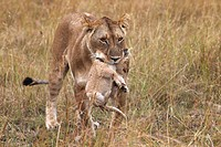 Lioness Panthera leo carrying cub in mouth, Masai Mara National Reserve, Kenya