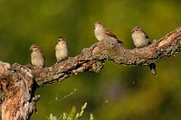 House sparrows Passer domesticus on a branch, Rhineland_Palatinate, Germany, low angle view