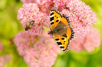 Painted lady butterfly Vanessa cardui on a blossom, close_up, bird´s eye view,