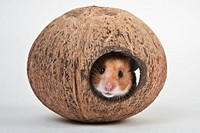 Golden hamster in a coconut