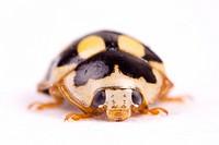 Coccinellia septempunctata