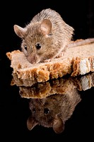 house mouse mus musculus with bred