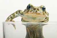 European green toad Bufo viridis in a classes