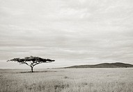 A lone Acacia tree in the wilderness of the Serengeti, Tanzania, Africa