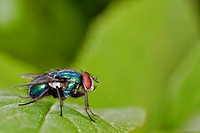 greenbottle fly Lucilia caesar