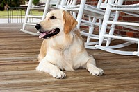 golden retriever waiting on porch,