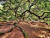 huge spreading live oak tree, hdr image
