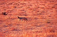 Jackal with chabraque, Namibia