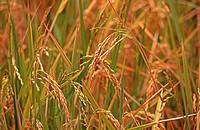 Rice seedlings, Tanzania