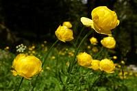 Switzerland, mountain, Alps, Graubünden, Grisons, alp, Albula, troll flower, yellow, nature, nature conservation, spring, grass, flowers