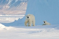 Female polar bear and five month old cub at iceberg Navy Board Lancaster Sound, Baffin Island  The animals have been listed as at risk due to Climate ...