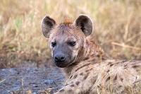 A spotted hyena on the plains of the Masai Mara