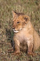 A young lion cub on the plains of the Masai Mara