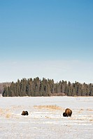 Two Bison bos bison in snow covered meadow, Elk Island National Park, Alberta.