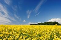 Canola field under a big Alberta sky near Carstairs, Alberta, Canada