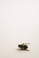 Close_up of a dead common housefly on a white background