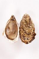 Oyster Mollusk opened - Ostrea