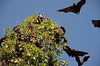 Grey-headed Flying-foxes Pteropus poliocephalus at the Royal Botanic Gardens in Sydney, New South Wales, Australia