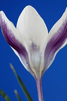 Crocus 'Ladykiller', flower against blue background