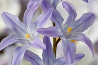 Chionodoxa forbesii Glory of the snow