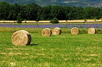 Round hay bales on a mowed meadow