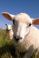 Sheep lamb ANIMALS FARMING Scottish Crossbred spring lambs in grassy field Orkney Scotland