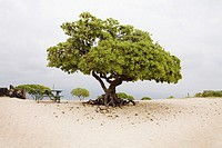Lone tree at the beach on the Big Island, Hawaii