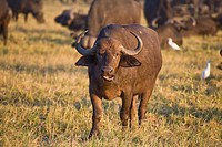 African buffalo (Syncerus caffer) in the evening