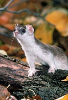 Long_tail weasel Mustela frenata in fall pelage in Ohio.
