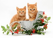 Red tabby British shorthair kittens with a festive silver sledge and holly.
