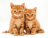 Red tabby British shorthair kittens.