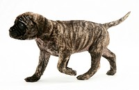 Brindle English Mastiff puppy trotting.
