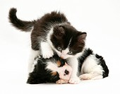 Black_and_white kitten with a sleeping Cavalier King Charles Spaniel puppy.
