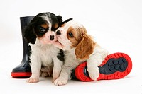 Tricolor and Blenheim Cavalier King Charles Spaniel puppies with a child´s rain boots.